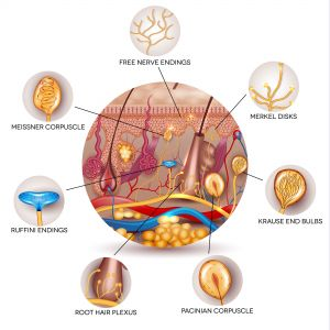 Skin anatomy and Sensory receptors in the skin. Skin anatomy in the round shape.